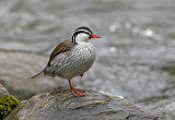 Torrent Duck