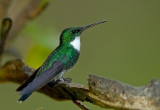 White-troated Hummingbird