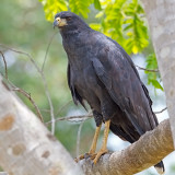 Great-black Hawk