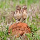 Burrowing Owl (juv)