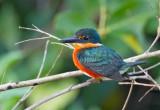 _PygmY Kingfisher