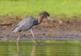 Little Blue-Heron