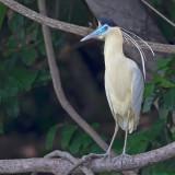 Capped Heron