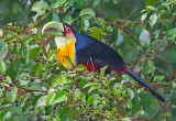 Red-Breasted ( or Green-billed) Toucan