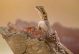 Lizard Senegal