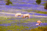 Cows in Bluebonnet Pasture