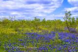 Mesquite Wildflower Prairie
