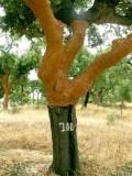255 cork tree.JPG