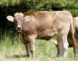 857 Alpine Cow.jpg