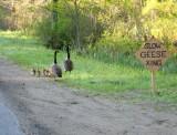 270 Conway 3 151 Geese 5-19.jpg