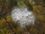 271 Conway 3180 milkweed.JPG