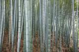 Bamboos in Sagano @f8 D700