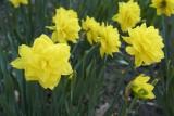 Daffodil @f8 D800E
