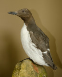 Zeekoet - Common guillemot - Uria aalge