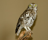 Steenuil - Little owl - Athene noctua