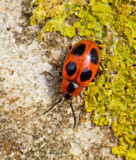 Swedish Fungus Beetles, Svampbaggar (Endomychidae)