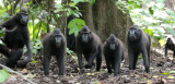 PRIMATE - MACAQUE - SULAWESI BLACK-CRESTED MACAQUE - TANGKOKO NATIONAL PARK SULAWESI INDONESIA (7).JPG