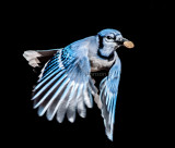 Blue Jay (Cyanocitta cristata) carrying a piece of dry dog food