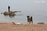 Zwerfhonden op het strand van Dahab