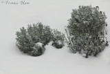 Lavendel in de sneeuw