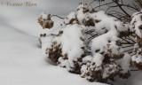 Hortensia in de sneeuw