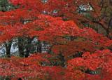 Fire tree_0805