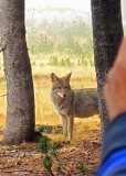 coyote_touleme_906
