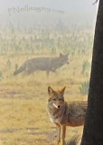 Toulome Coyotes_0903