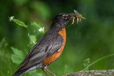 Robin'n'Mayflies.jpg