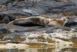Summer Isles seals