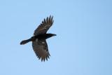 Raven - Korp