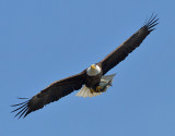 Bald Eagle with Fish_1231.jpg