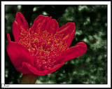 Blood Lily.