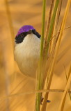 Purple Crowned Fairy Wren