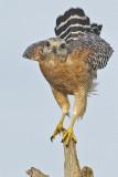 20110904 Red-shouldered Hawk  Takeoff   _0092