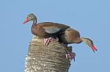 20120903 Black-bellied Whistling Ducks _5434