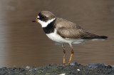20120811 Semipalmated Plover  _4956