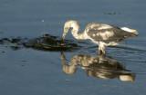 20120819 Little Blue Heron Fishing  _5139