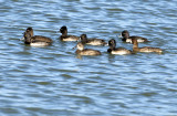 20121125 Ring-necked Duck   _7371