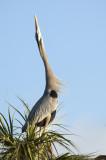 20121129 Great Blue Heron  Display   _7549