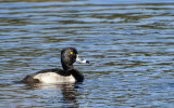 20121201 Ring-necked Duck  _7871