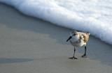 20120909 Ruddy Turnstone  in Surf  _6022