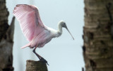20121207 Spoonbill on Palm   _8035