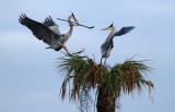 20130101 Great Blue Heron Nest Building   _9675