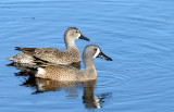20130117 Blue-winged Teal_0475