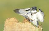 20130205 Banded Kingfisher Landing   _1011