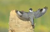 20130205 Belted Kingfisher Flight   _1023
