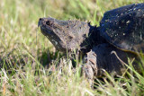 20130208 Snapping Turtle   _1611