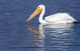 20130308 White Pelican   _2685.jpg