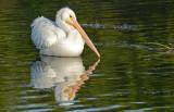 20130309 White Pelican  _2917.jpg